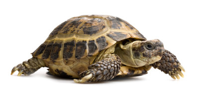 tortoise closeup isolated on white